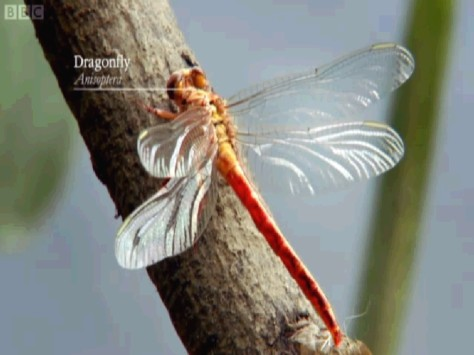 Wonders of Life dragonfly4